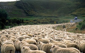 SheepOnTheRoad
